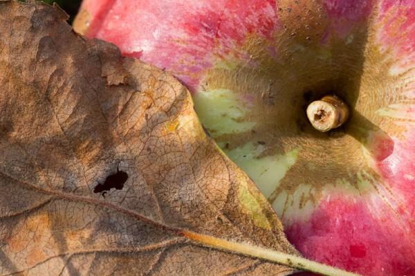 Pomme-et-feuille-morte