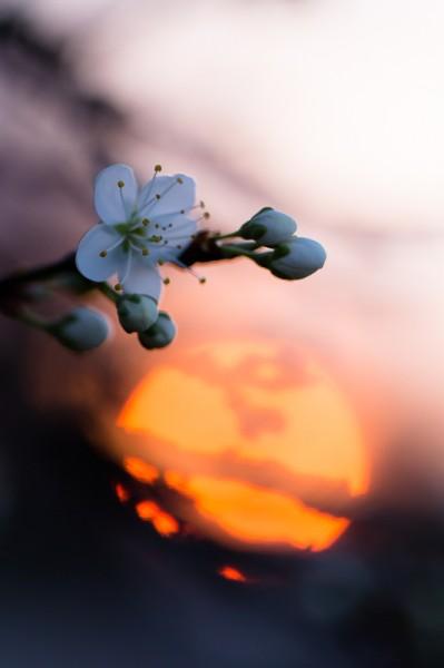 Prunelier au printemps