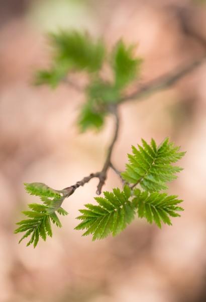 renaissance forestière