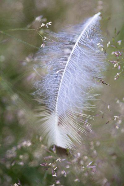 Une petite plume d'oiseau perdue dans les graminées