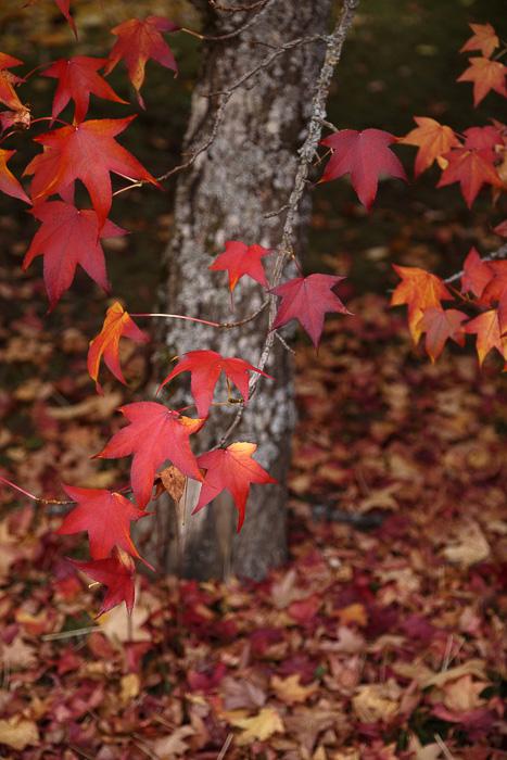 Couleurs d'automne pour l'érable avec ses feuilles rouges