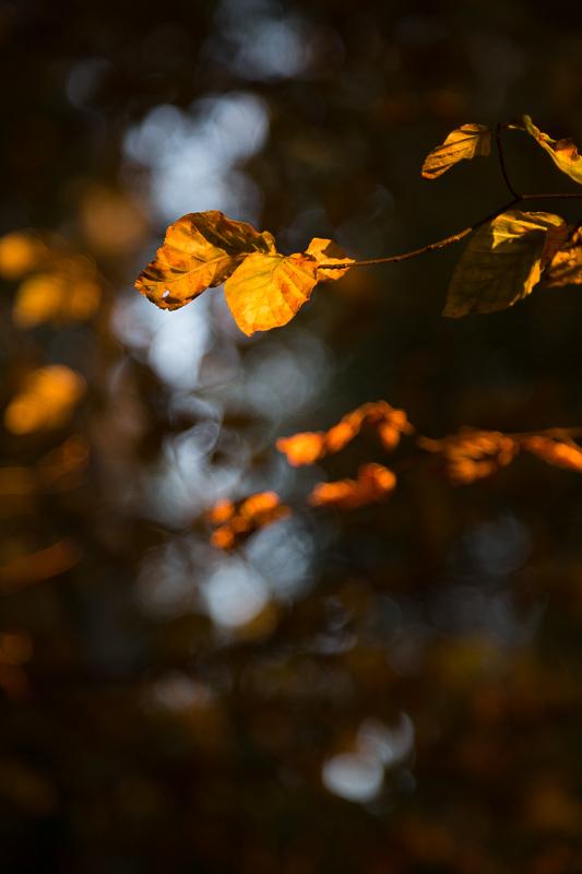Lueur du soleil couchant éclairant les feuilles en forêt, ambiance d'automne.