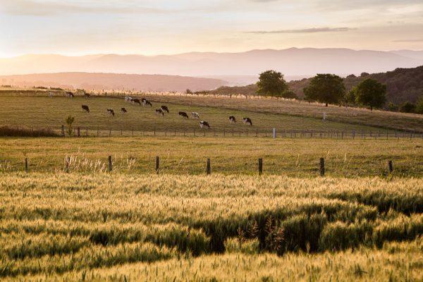 Campagne du Sundgau et soleil couchant sur les champs et les vaches