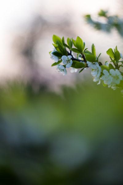 Fleurs blanches au printemps prises avec un objectif macro