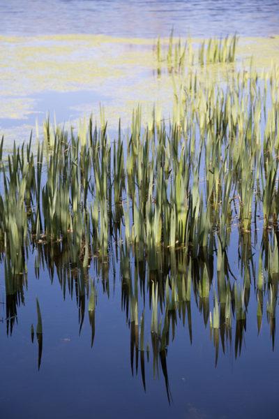 Herbes et leur reflet dans l'eau calme d'un étang