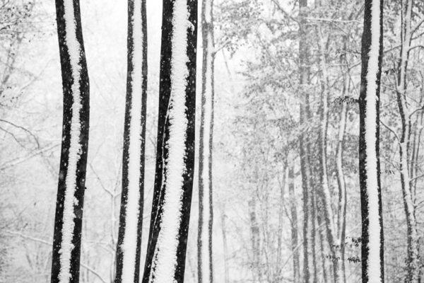 C'est l'hiver, dans la forêt, les arbres sont recouverts de neige.