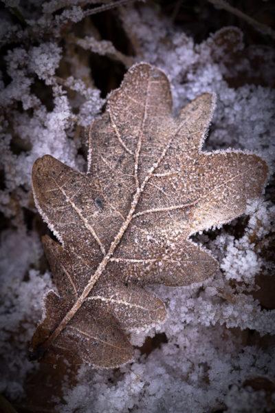 Une feuille morte prise dans le givre en hiver