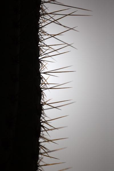 Détail d'un cactus avec ses grandes épines à contre-jour