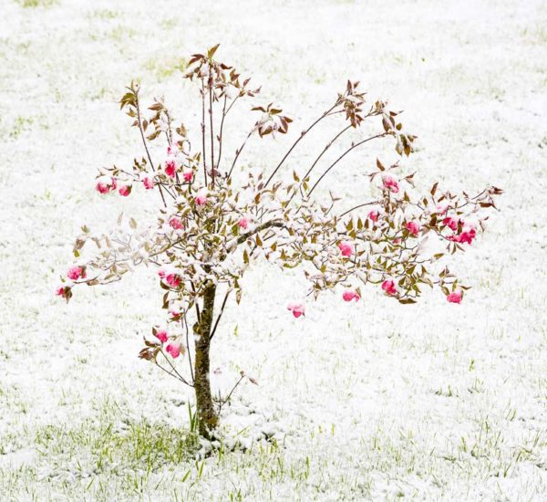 La neige du mois de mai recouvre l'herbe verte et les fleurs de printemps.