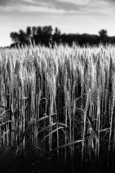 Champ de blé tel un rempart végétal