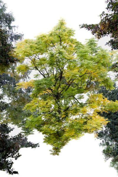Superposition de deux images d'un seul arbre